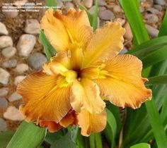 HONEY GALORE louisiana iris - (Ron Betzer, LA, R. 1999).  Deep South 2000.Google Search