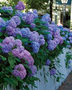 Grandes flores de Bigleaf Hortênsias | Belas jardinagem