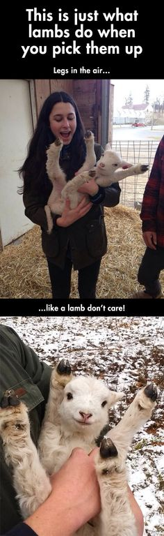 This Is What Lambs Do When You Pick Them up cute animals adorable animal baby animals lamb funny animals Cute Funny Animals, Funny Animal Pictures, Funny Cute, Hilarious, Funny Looking Animals, Lamb Pictures, Top Funny, Animals And Pets, Baby Animals