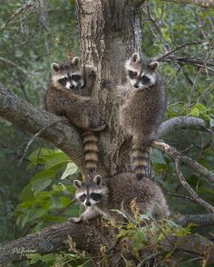 A trio of bandits : Racoons
