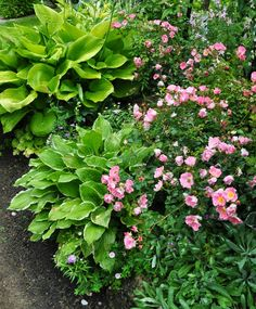 Joe has an array of hostas that would be the envy of most gardeners. He combines them in groups and also mixes them in usual ways as he has done with these Carefree Delight Roses.-Three Dogs in a Garden: Joe's Garden: Part 1