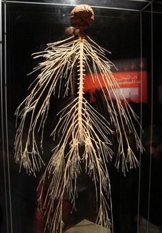 BODY WORLDS.. nervous system. Wish theyd come back!!
