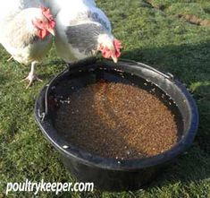 Can you keep chickens and ducks together? (Wheat under water for ducks)