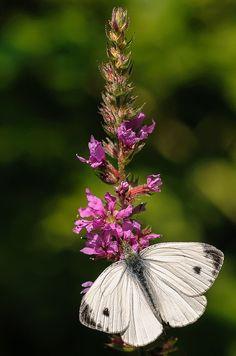 Kohlweißling - Cabbage White Butterfly - photo F. Dahlmann on Flickr