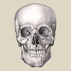 Skull illustrated in pencil.