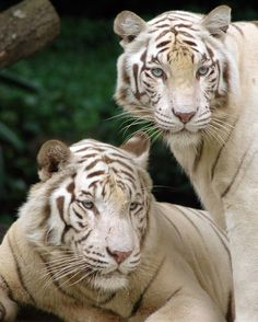 Singapore Zoological Gardens White Tigers, original image is at File:Singapore_Zoo_Tigers.jpg. Photographer Nachoman-au, cropped by KFP
