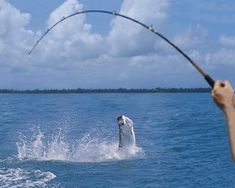 Tarpon have lured salt water anglers to Naples for nearly 100 years.  Contact us at NaplesBestAddresses.com and we will set you up.