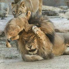 いいね!442件、コメント5件 ― analiaottaviさん(@analiaottavi_)のInstagramアカウント: 「La paciencia de Papá!!!!@Regrann from @any094019 -  @Regrann from @sdzsafaripark -…」