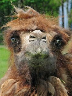 "Slightly-deranged-looking, fuzzy camel has had enough of this ""Tuesday"" nonsense. It is time for Hump Day. Vida Animal, Mundo Animal, Alpacas, Hump Day Camel, Bactrian Camel, Funny Animals, Cute Animals, All Gods Creatures, Sea Creatures"