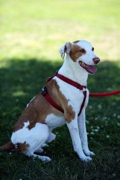 Snoopy - Adopta-me  Cão - Rafeiro Comum  Idade: Adulto Sexo: Macho Tamanho: Médio Pêlo: Laranja e Branco
