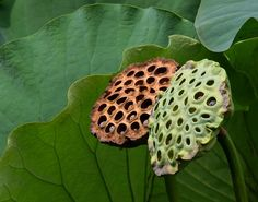 dried and green lotus pods