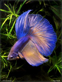 Gorgeous Male Betta Splendens - Bettas are tropical fish and prefer water temperatures near 80 degrees.  A minimum size 2 gallon tank makes a good home for one male betta because a small heater can be used to increase the water temperature.