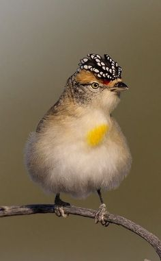 Spotted Pardalote (Pardalotus punctatus) is one of the smallest of all Australian birds