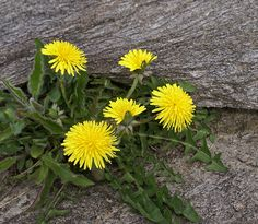 The Dandy Dandelion Health Benefits and Dandelion Flower Fritters | deliciousobsessions.com