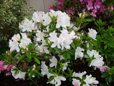 Azalea:  GG Gerbing white, Southern Indica hybrid;  photo by pawightm (Patricia), via Flickr