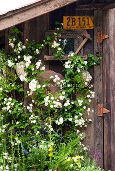 Climbing white roses Rosa on rustic garden shed with old California license plate ornament and old garden tools