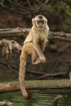 Robust capuchin monkey by André Luiz Silva, via 500px