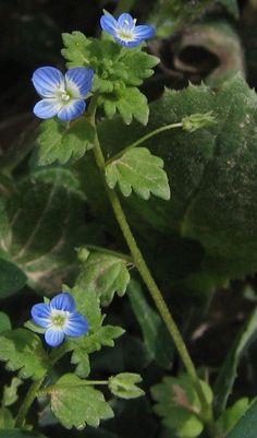 perzsa veronika (Veronica persica) Mész tartalmat jelez a földben