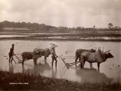 "vintageeveryday: "" Ploughing with water buffaloes, Myanmar, 1885 "" Qi Gong, Kung Fu, Sri Lanka, Nepal, Taiwan, Laos, Pakistan, Mount Everest, Taj Mahal"