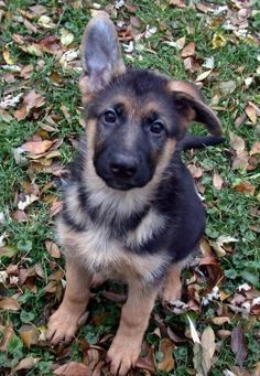 A German Shepherd Dog puppy. Haha remember what we were talking about with the ears?!