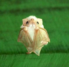 Baby Honduran White Bat