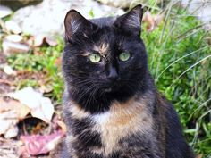 Picture of Starburst, a Rescued Tortie Cat
