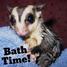 Make sure go bath your pet sugarglider every so often. Cute levels might rise!