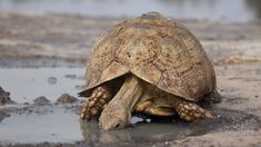 This tortoise is a grazing species that favors semi-arid, thorny to grassland habitats. In both very hot and very cold weather they may dwell in abandoned fox, jackal, or aardvark holes. Tortoise As Pets, Tortoise Food, Baby Tortoise, Sulcata Tortoise, Tortoise Care, Giant Tortoise, Tortoise Turtle, Grassland Habitat, Russian Tortoise