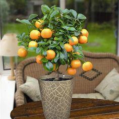Mini Orange Tree 40cm with fruit