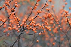 Orange Winter Berry Photography, Nature Woodland Photograph, Wall Art Prints Botanical Gardens Winterberries, Rustic Office Home Decor Photo