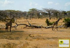 Friends in the sun! Most Visited, Holiday Destinations, Holiday Travel, Tanzania, Wilderness, South Africa, Giraffe, Safari, Tourism