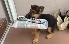 Little German Shepherd Puppy Delivers Newspaper Smoothly And He's Absolutely Adorable! #GermanShepherd #germanshepherdpuppy