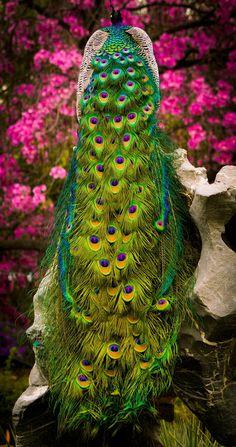 Peacock Paradise - Beauty.