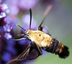 The Exotic Beauty of Hummingbird Clearwing Moths Bee Moth, Leopard Moth, Hummingbird Garden, Hawk Moth, Exotic Beauties, Chenille, Nature Photos, Simply Beautiful, Beautiful Creatures