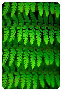 Eğrelti Otu :   Eğreltiotugiller familyasından, boyu 120 cm'ye kadar olan bir bitkidir. Yaprağının altında küçük kahverengi tanecikli sporlarıyla çoğalır. Çok çeşidi vardır. Kumlu yerlerde yetişir. Kökü kalındır. . Zehirlidir. Tavsiye edilen miktarı aşmamak gerekir. Hekimlikte; erkek eğreltiotu hulusası (Extractunrt filicis, Extractum de fougere male) kullanılır. Bağırsak solucanları ve tenyaları düşürür.  Memeli basur ve variste de faydalıdır.  UYARI : .Hamileler ve kansızlar kullanamaz