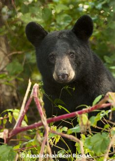 American Black Bear Photos from Appalachian Bear Rescue (ABR) in Townsend, Tennessee 37882