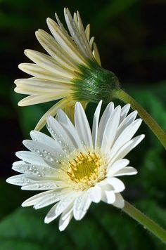 Gerbera Daisy, such a pretty environmentally good plant! Happy Flowers, Flowers Nature, Exotic Flowers, Tropical Flowers, White Flowers, Beautiful Flowers, Sunflowers And Daisies, Gerber Daisies, Daisy