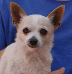 Chica is a soulful, petite girl, broken-hearted because she was turned into another shelter, a rejection she cannot comprehend.  Chica's love is unconditional.  She is a Chihuahua, about 8 years of age, spayed, and debuting for adoption today at Nevada SPCA (www.nevadaspca.org).  Chica craves adoration and gets along beautifully with other dogs.  She only weighs 6 pounds, so extra safety precautions are needed for her in your home and yard.