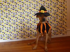 Cooper tries on a Witch Dog Halloween Dog Costume