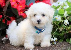 This is a very loving & playful Bichon puppy who is cute as a button! He is a delightful little puppy who will crave your attention and be the apple of Bichon Puppies For Sale, Cute Baby Puppies, Puppies Puppies, Little Puppies, Cute Babies, Sweet Dogs, Can Dogs Eat, Puppy Face, Bichon Frise