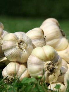 Garlic  In fall, plant individual cloves 4 inches deep with the pointed ends up. Cover the planting with at least 3 inches of mulch.