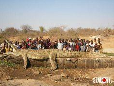 Crocodile géant