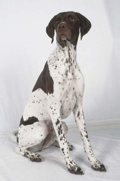 English Pointer - He looks just like my sweet Ritz. I miss that old doggie! http://www.turmericfordogs.com/blog