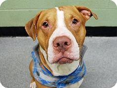 To be destroyed 11/26/14. Pictures of LOLO a Pit Bull Terrier Mix for adoption in New York, NY who needs a loving home. A volunteer writes: Lolo was so sweet when he asked me to walk him. His big beautiful eyes asking me were so expressive. So good out of his cage, what a gentleman. Walked so nicely on his leash, so happy to be outside, even on a freezing cold evening. Loved to sniff everything almost like he has some hound in him. He listened to me when I asked him to sit on the corner, he…