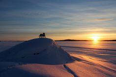 Yksinäinen Beagle auringonnousua katsomassa Inarissa.