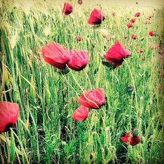 #poppy #mohn #summerlove