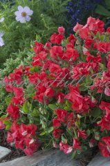 Sweet Pea Villa Roma Scarlet $2.95  This amazing sweet pea is sweetly fragrant with brightly colored blooms for up to 4 months straight when they're only 10 inches tall. Flowering begins in early summer and continues through early fall in most climates. This heat tolerant, compact and mounded plant is packed with blooms with each stem having clusters of scarlet blooms that fill flowerpots, window boxes and handing baskets. Vigorous and easy to grow in full sun. Pkt is 25 seeds.