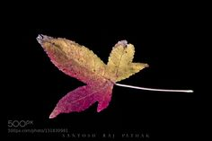 When Leaf turns into flower by SantoshPathak