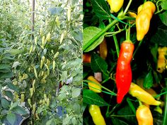 Aji Cristal chili variety (Capsicum Baccatum), very good variety for eating raw, cooking, cold smoking, pickling, jams etc.