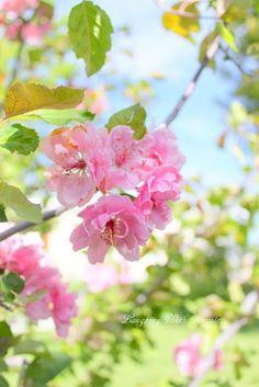 A flor da cerejeira são muito delicadas.